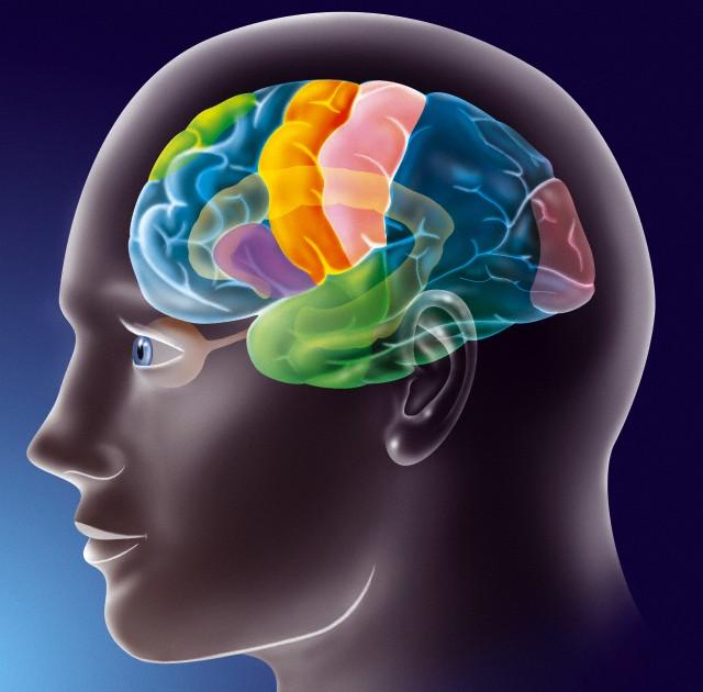 Функциональные зоны коры человеческого мозга: первичная слуховая кора в височной доле окрашена тёмно-зелёным, первичная зрительная в затылочной доле – розовым, первичная моторная – оранжевым, соматосенсорная – светло-розовым (Фото JACOPIN / BSIP / Corbis.