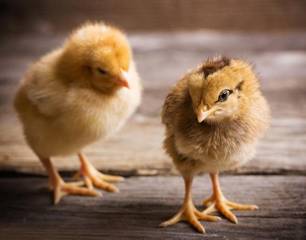 Что цыплята знают о числах?  Фото © Майя Крученкова / Фотобанк Лори.