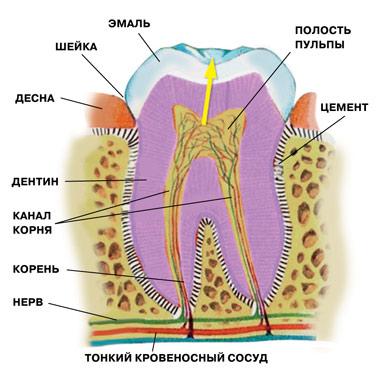 Анатомия и физиология зуба.