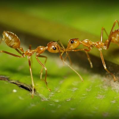 Зачем муравьи целуются