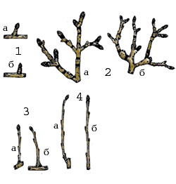 Плодоносные обрастающие ветви яблони
