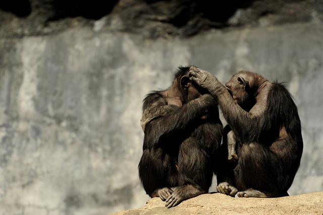 У шимпанзе не нашли альтруизм   Наука и жизнь