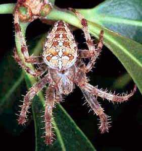 Паук-крестовик (Araneus diadematus) известен своим умением плести большие колесовидные ловчие сети.
