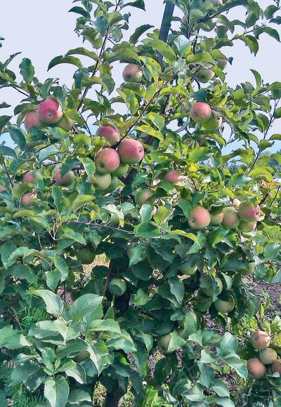 Когда яблоня без яблок   Наука и жизнь