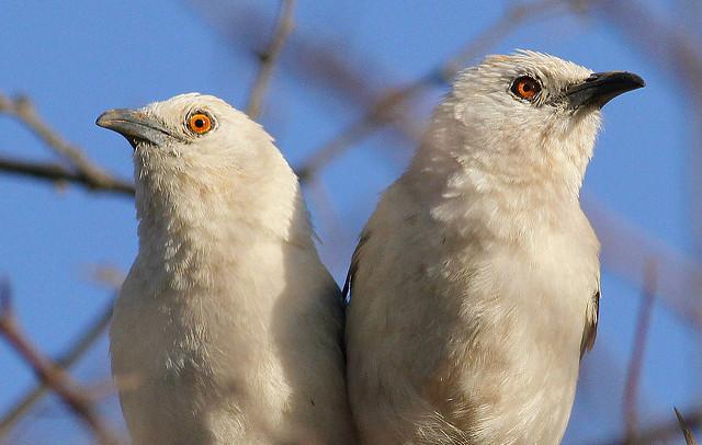 Птицы заботятся о чужих птенцах в расчете на наследство