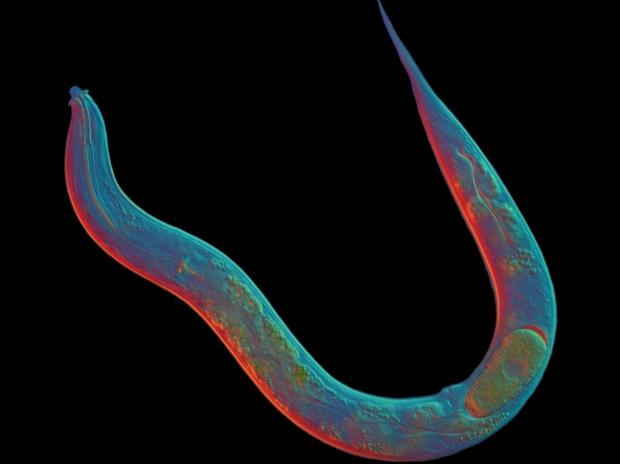 Червь Diploscapter pachys длиной менее миллиметра сумел удивить биологов своей единственной хромосомной парой. (Фото: Karin Kiontke, David Fitch.)