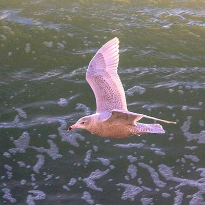 Какие птицы зимуют на Чукотке