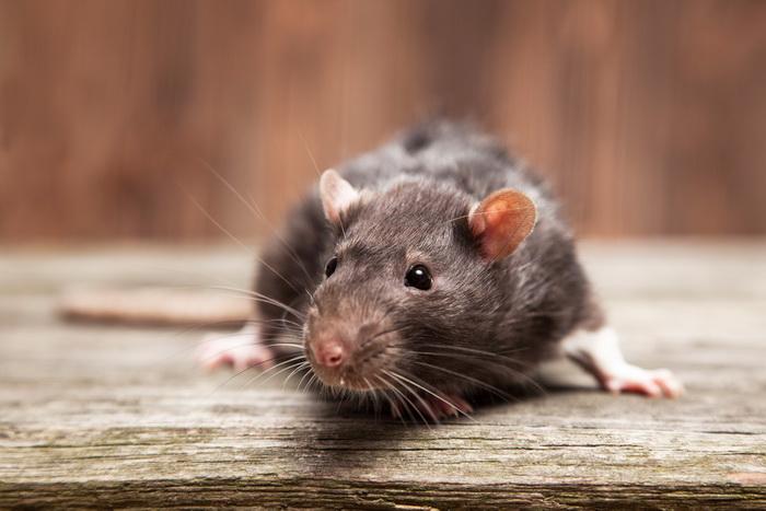 Виноваты ли крысы в Черной смерти?