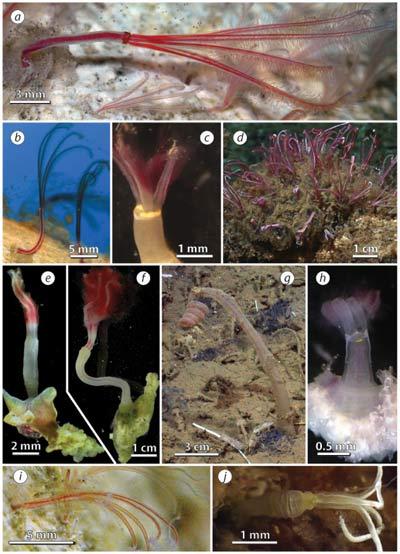"""Подборка снимков, отражающая разнообразие червей из рода Оседакс, из статьи Р. Врайенхука, С. Джонсона и Г. Рауса, опубликованной в 2009 году, под названием """"Замечательное разнообразие червей - костоедов""""."""