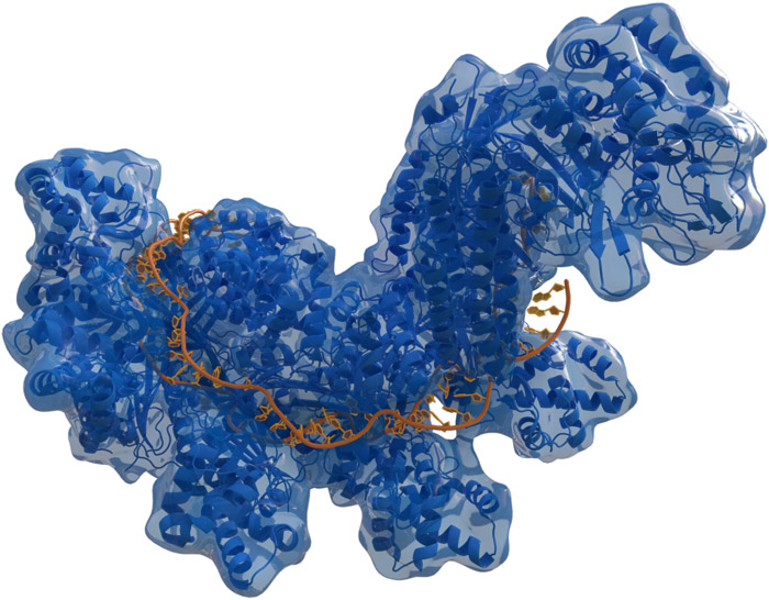 Структура бактериального белка Cas из противовирусной системы CRISPR-Cas; оранжевым обозначена ДНК, с которой связался редактирующий фермент. (Фото: Wikipedia.)