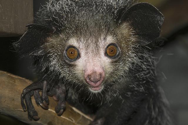 Ай-ай, или мадагаскарская руконожка. (Фото San Diego Zoo / www.flickr.com/photos/sdzooglobal/16215858986.)