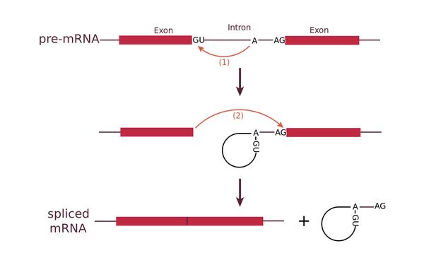 Схема вырезания интрона из пре-мРНК. (Иллюстрация By BCSteve - Own work, CC BY-SA 3.0, https://commons.wikimedia.org/w/index.php?curid=30096313.)
