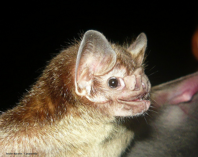 Обыкновенный вампир Desmodus rotundus. (Фото funmontanaviva / Flickr.com.)