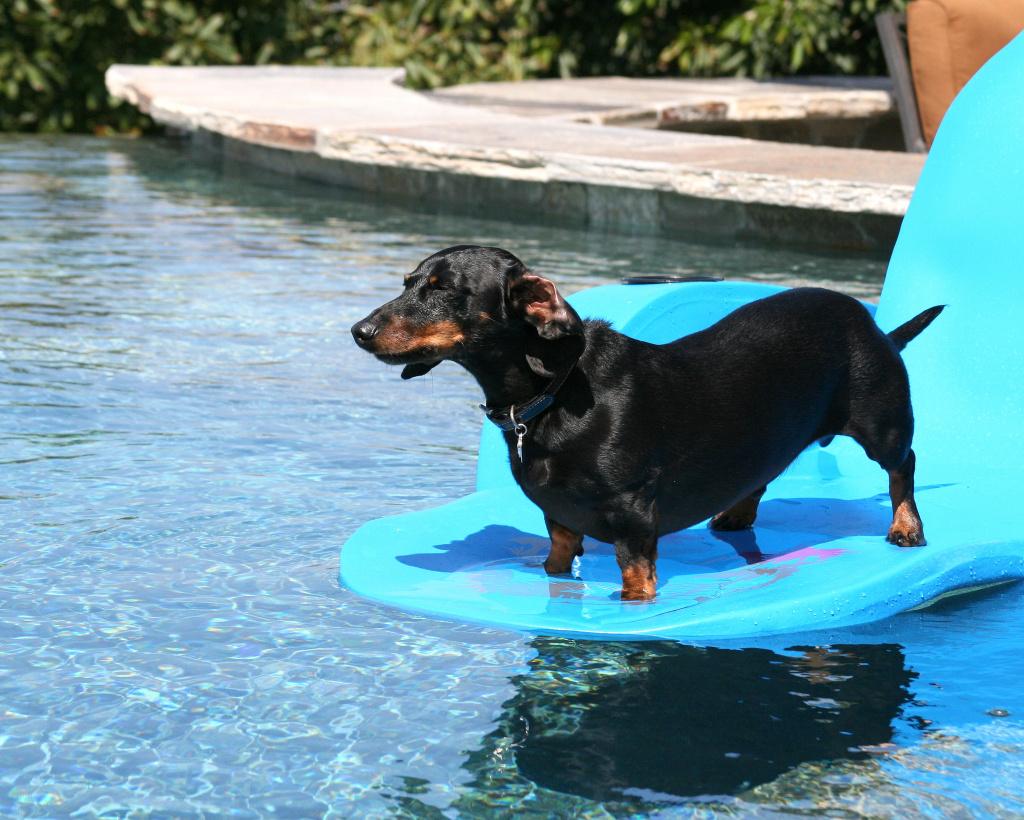 Таксам всё-таки лучше плавать в воде, а не в перфторированных жидкостях. Фото: Four Doxn/Flickr.com https://www.flickr.com/photos/fourdoxn/1074379832/