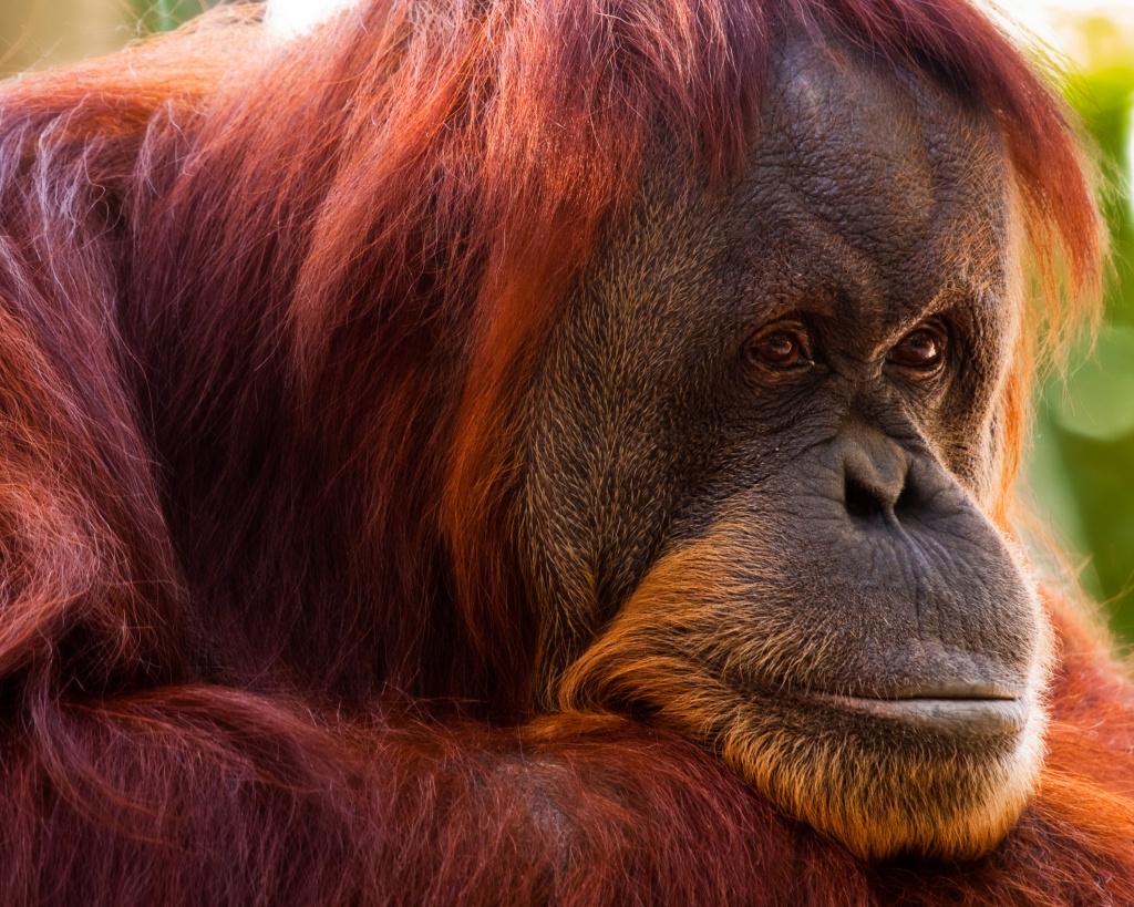 Нижняя челюсть «пилтдаунского человека» когда-то принадлежала орангутану. Фото: David Wynia/Flickr.com https://www.flickr.com/photos/davidandbecky/3956298644