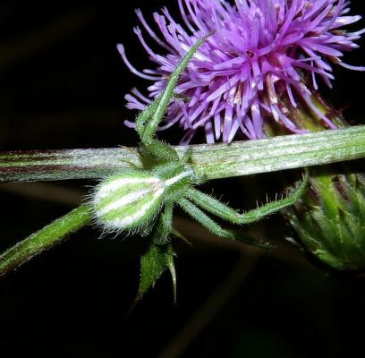 Паук-бокоход Heriaeus melloteei. (Фото: Heriaeus melloteei / Flickr.com)