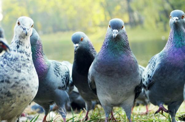 Картинки по запросу голуби