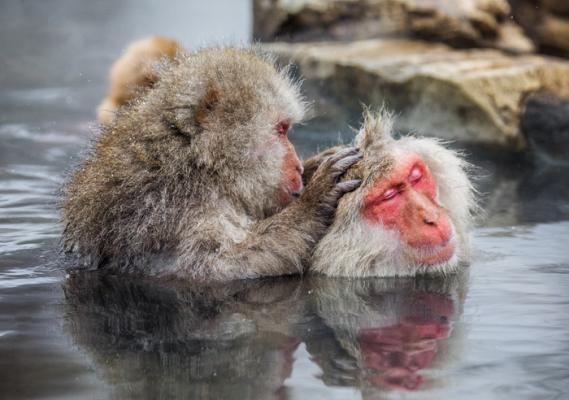 Японские макаки в горячем источнике. (Фото: GUDKOVANDREY / Depositphotos)