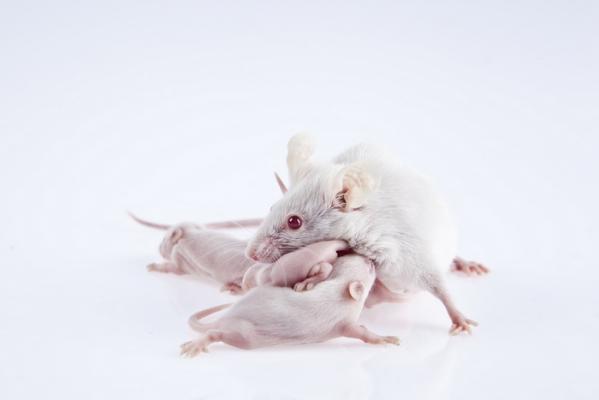 Лабораторная мышь с мышатами. (Фото: gorkemdemir / Depositphotos)