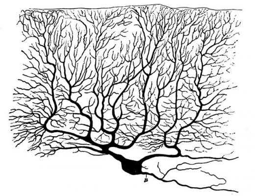 «Портрет» клетки Пуркинье из человеческого мозжечка. (Фото: Marisa L / Flickr.com)