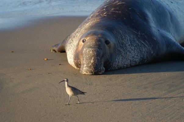 Морской слон на пляже. (Фото: skeeze / Pixabay.com)